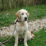 education-canine-charny_golden-retriever-happy-05