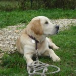 education-canine-charny_golden-retriever-happy-08