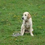education-canine-charny_golden-retriever-happy-10
