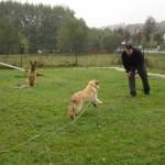 education-canine-charny_golden-retriever-happy-12