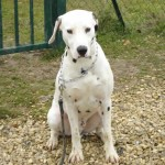 education-canine-charny_hermes-dalmatien-03
