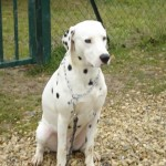 education-canine-charny_hermes-dalmatien-04