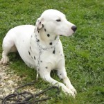 education-canine-charny_hermes-dalmatien-06