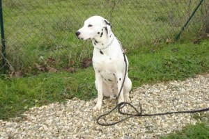 education-canine-charny_hermes-dalmatien-13