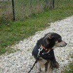charny-education_education-pinscher-02