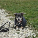charny-education_education-pinscher-05