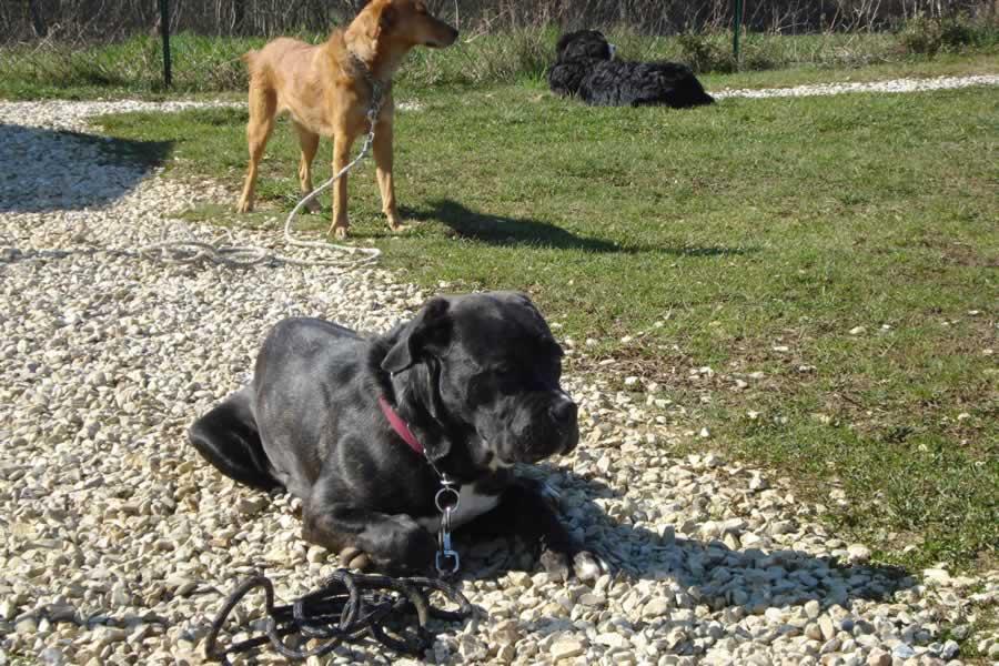 Comment éduquer un Cane Corso