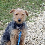 Education jeune Fox Terrier