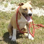 tyson-american-stafforshire-terrier-03