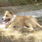 tyson-american-stafforshire-terrier-06