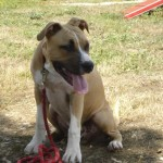 tyson-american-stafforshire-terrier-08