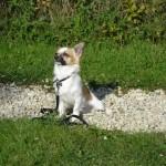 Education et cractère du Chihuahua