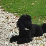 caniche nain male noir d'un an et demi
