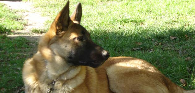 Information dressage chiot Malinois