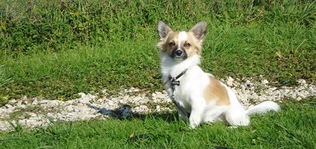 Education et caractère du Chihuahua