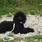 Iris, caniche nain male noir d'un an et demi